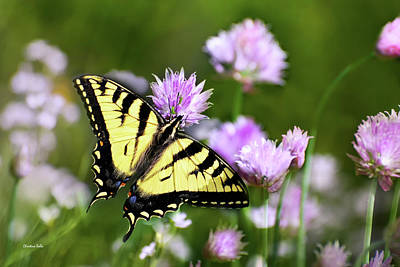 Rollos Photograph - Swallowtail Butterfly Dream by Christina Rollo