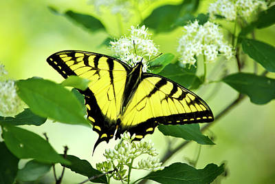 Swallowtail Butterfly Feeding On Flowers Art Print by Christina Rollo