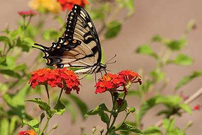 Photograph - Swallowtail Butterfly Feeds On Lantana by Jill Lang