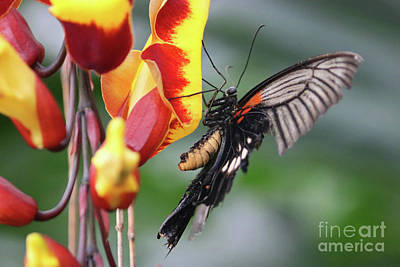 Photograph - Swallowtail Butterfly Feeds On Tropical Flower by Julia Gavin