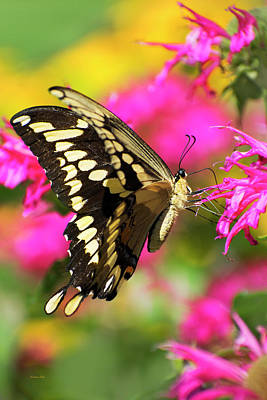 Photograph - Swallowtail Butterfly Garden by Christina Rollo