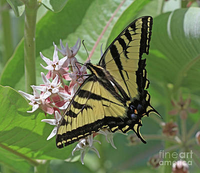 Photograph - Swallowtail Butterfly by Gary Wing