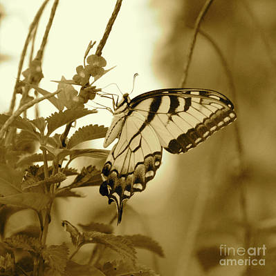 Photograph - Swallowtail Butterfly In Sepia by Carol Groenen