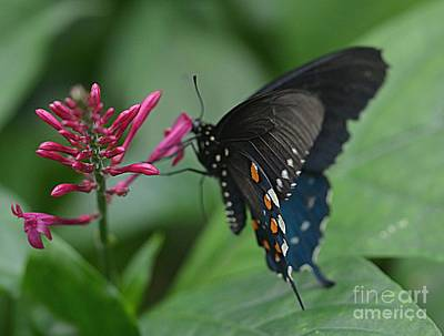 Photograph - Swallowtail Butterfly by Janice Spivey