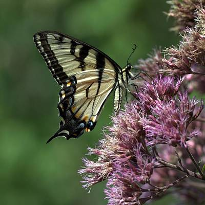 Photograph - Swallowtail Butterfly by Joseph Skompski
