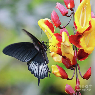 Photograph - Swallowtail Butterfly by Julia Gavin