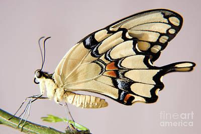 Swallowtail Butterfly Print by Julia Hiebaum
