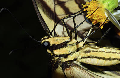 Photograph - Swallowtail Butterfly by Larah McElroy