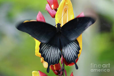 Photograph - Swallowtail Butterfly On A Tropical Flowers by Julia Gavin