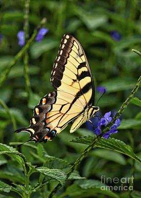 Photograph - Swallowtail Butterfly On Blue Flower by Carol Groenen