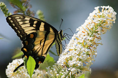 Photograph - Swallowtail Butterfly On Bush by Jill Lang