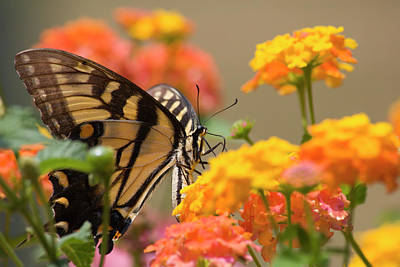 Photograph - Swallowtail Butterfly On Lantana by Jill Lang