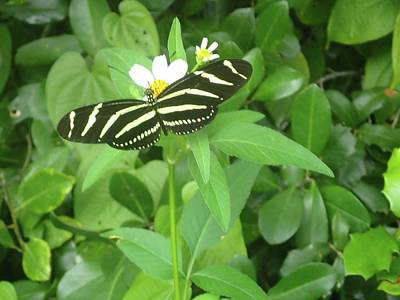 Photograph - Swallowtail Butterfly On Leaf by Denise Cicchella