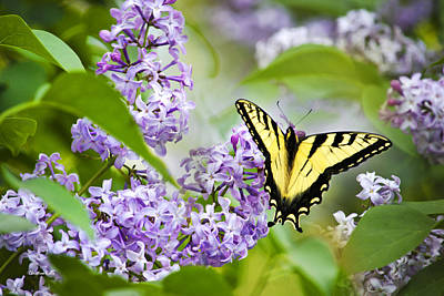 Photograph - Swallowtail Butterfly On Lilacs by Christina Rollo
