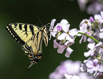 Photograph - Swallowtail Butterfly On Phlox by Cheryl Baxter