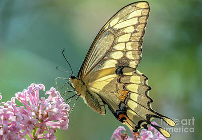 Photograph - Swallowtail Butterfly On Teal by Cheryl Baxter