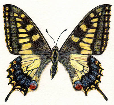 Detail Drawing - Swallowtail Butterfly by Rachel Pedder-Smith