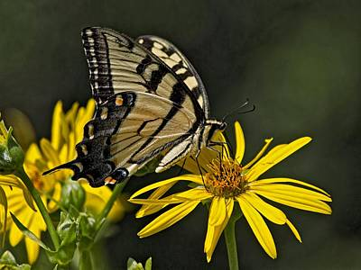 Photograph - Swallowtail Butterfly by Ron Grafe