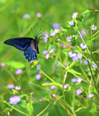 Blue Swallowtail Photograph - Swallowtail Butterfly by Steve Harrington