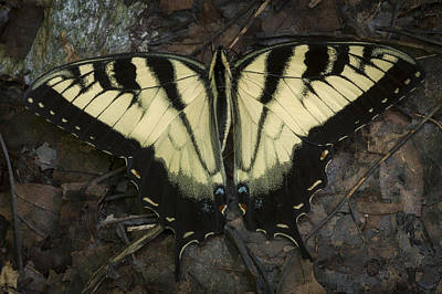 Photograph - Swallowtail Butterfly by Tyson Smith