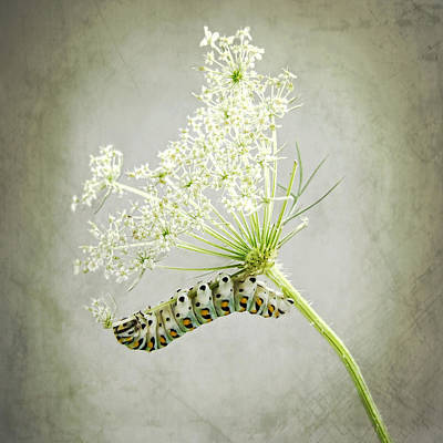 Photograph - Swallowtail Caterpillar On Queen Anne's Lace by Louise Kumpf