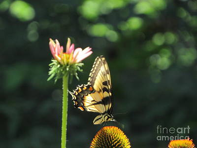 Photograph - Swallowtail by Cindy Fleener