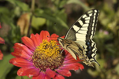 Photograph - Swallowtail  by Cliff Norton