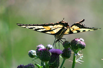 Photograph - Swallowtail by Craig Strand