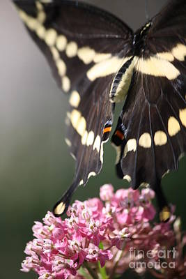Photograph - Swallowtail Departing by Mary-Lee Sanders