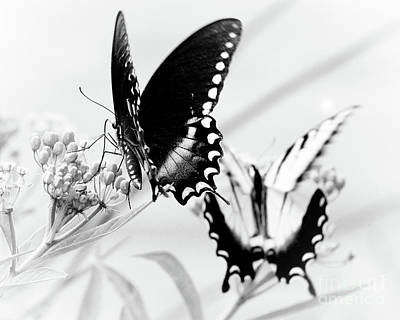 Photograph - Swallowtail Double Feature by Anita Oakley