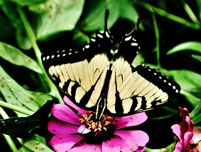 Photograph - Swallowtail by Eileen Brymer