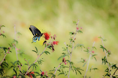 Photograph - Swallowtail by Emily Bristor