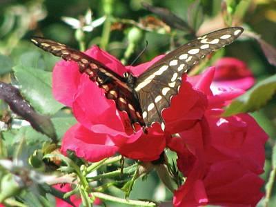 Photograph - Swallowtail - Follow Me 01 by Pamela Critchlow