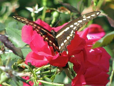 Caravaggio - Swallowtail - Follow Me 01 by Pamela Critchlow