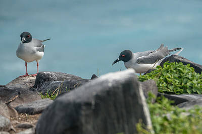 Photograph - Swallowtail Gulls by Harry Strharsky