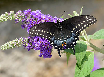 Photograph - Swallowtail In Black - Full Spread by Bill Jordan