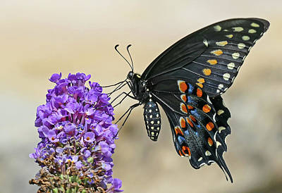 Photograph - Swallowtail In Black - Profile by Bill Jordan