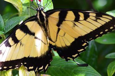 Photograph - Swallowtail In The Shadows by Warren Thompson