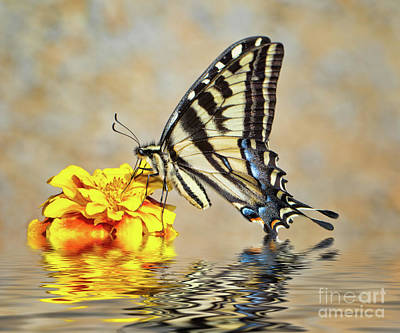 Photograph - Swallowtail In Water by Mimi Ditchie