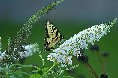 Ira Marcus Royalty-Free and Rights-Managed Images - Swallowtail  by Ira Marcus