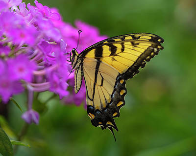 Butterfly Flowers Photograph - Swallowtail  by Jeff Klingler
