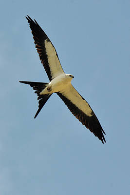 Photograph - Swallowtail Kite by Alan Lenk