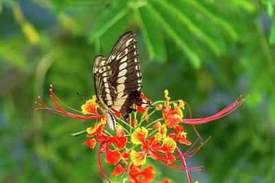 Photograph - Swallowtail by Leticia Latocki