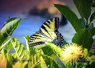 Photograph - Swallowtail by Melissa Messick