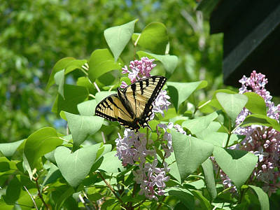 Photograph - Swallowtail On A Lilac Bush by Wayne King