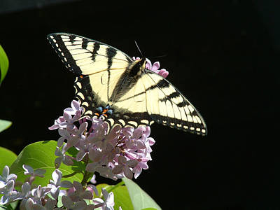 Photograph - Swallowtail On A Lilac Flower by Wayne King