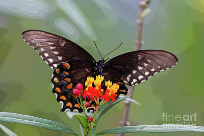 Photograph - Swallowtail On Flower by Luana K Perez