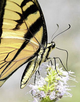 Photograph - Swallowtail On Hyssop Blossom by William Jobes