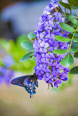 Photograph - Swallowtail On Mountain Laurel by Debbie Karnes