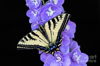 Photograph - Swallowtail On Purple Flowers by Mimi Ditchie